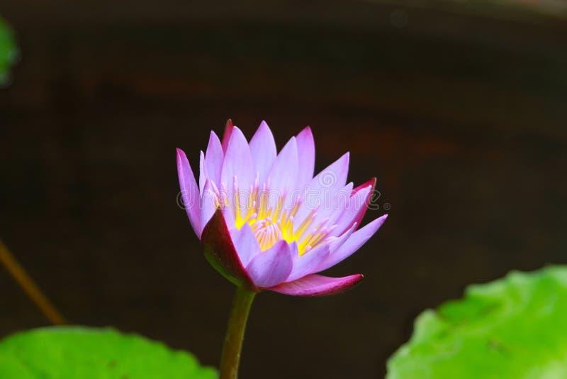 Acqua Lily Flower Focused fotografia stock libera da diritti