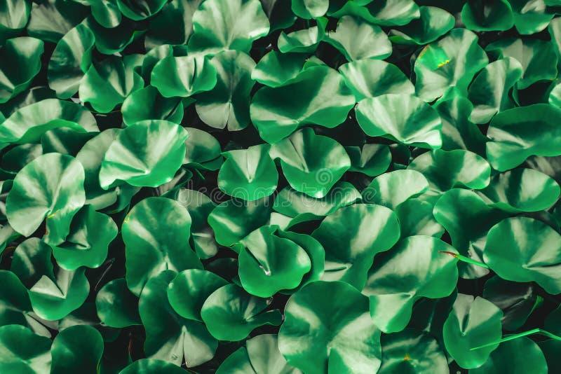 Acqua Lily Leaves Deep Green Background immagine stock libera da diritti