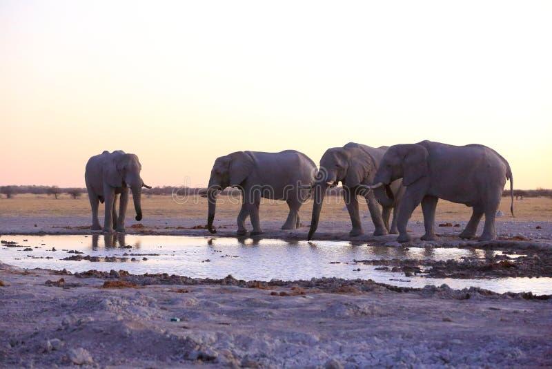 Acqua potabile degli elefanti dopo il tramonto immagini stock