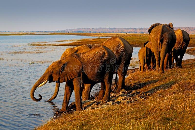 Acqua potabile degli elefanti Elefanti africani che bevono ad un waterhole che solleva i loro tronchi, parco nazionale di Chobe,  fotografie stock