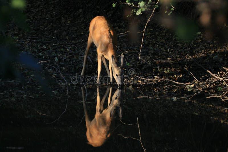 Acqua potabile dei caprioli in foresta (Capreolus) fotografia stock libera da diritti