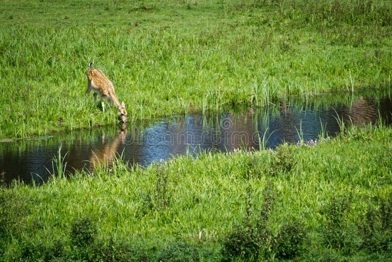 Acqua potabile dei cervi del bambino dal fiume fotografia stock