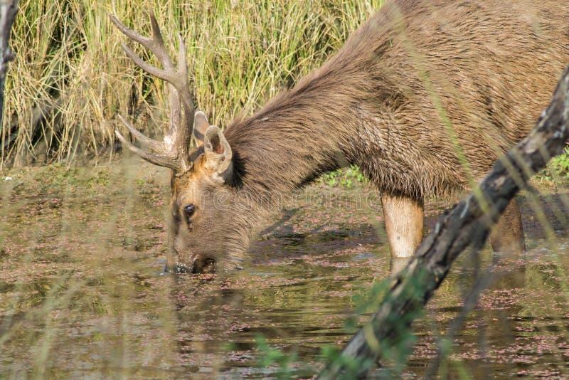 Acqua potabile dei cervi del Sambar fotografie stock libere da diritti