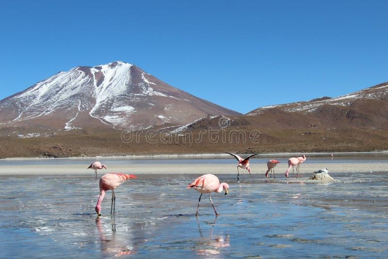 Acqua potabile dei fenicotteri in un lago in Bolivia immagine stock libera da diritti