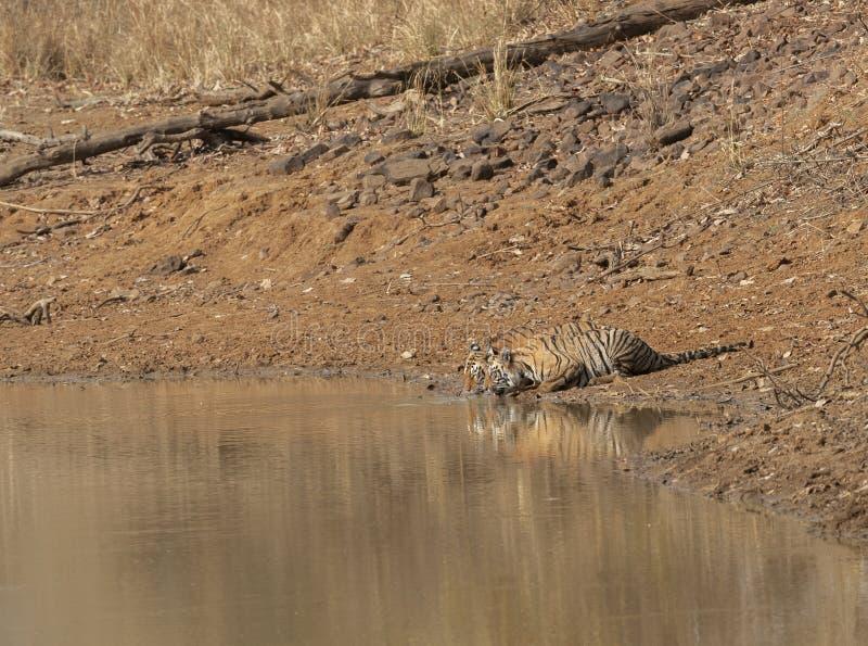 Acqua potabile del cucciolo e di Tiger Mother alla maharashtra della riserva della tigre di Tadoba, India immagine stock