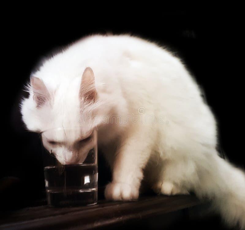 Acqua potabile del gatto turco di angora da un vetro fotografia stock libera da diritti