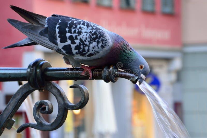Acqua potabile del piccione un giorno di estate caldo immagine stock libera da diritti