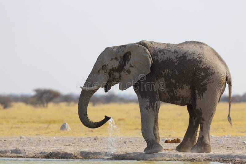 Acqua potabile dell'elefante al waterhole fotografie stock libere da diritti