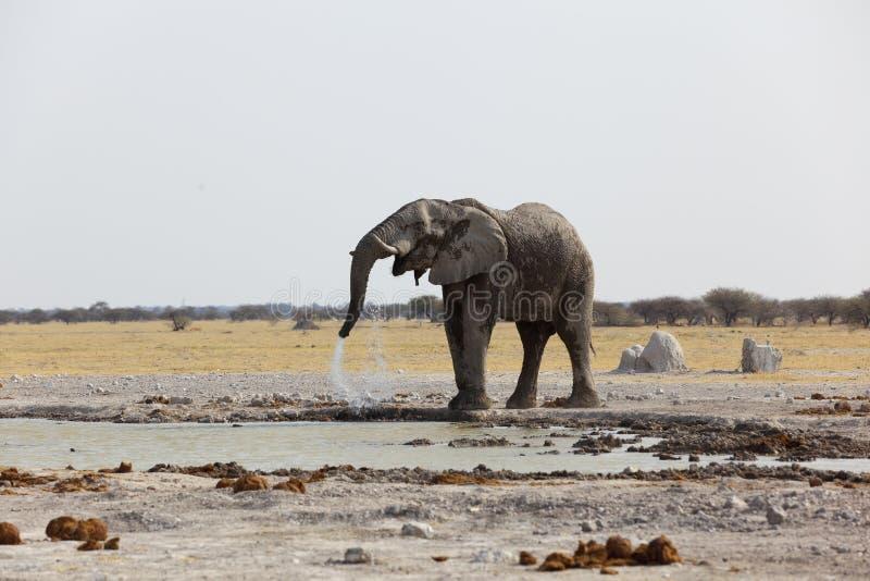 Acqua potabile dell'elefante alla pentola NP di Nxai fotografia stock libera da diritti