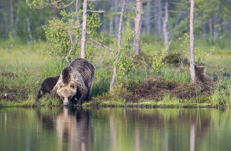 Acqua potabile dell'orso fotografie stock