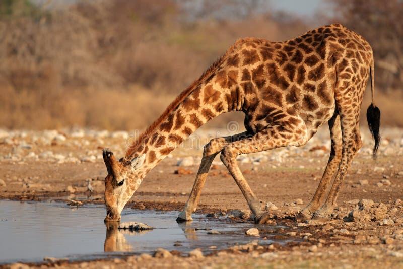 Acqua potabile della giraffa fotografia stock libera da diritti