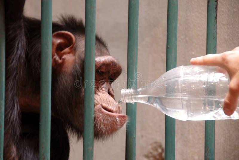 Acqua potabile della scimmia fotografia stock libera da diritti