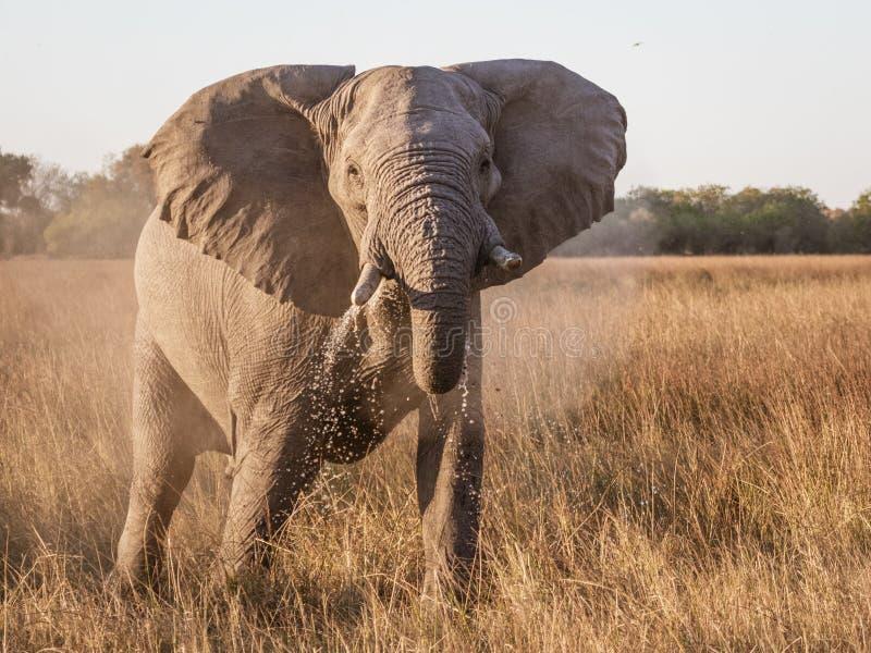 Acqua potabile di elefante proveniente da una palude fotografie stock libere da diritti