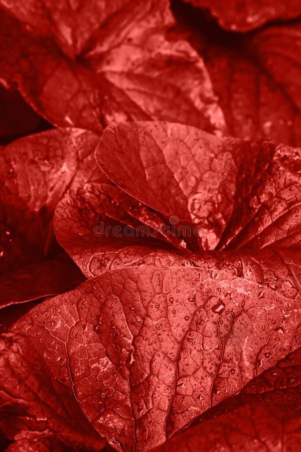 Acqua selvaggia Lily Flower Leaves dopo pioggia con le gocce di acqua nella vita d'avanguardia Coral Color Fondo botanico della n fotografia stock