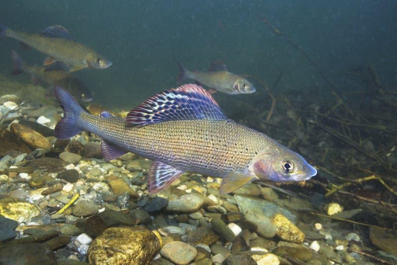 Acqua subacquea di fotografia di thymallus thymallus del temolo in chiaro fotografia stock
