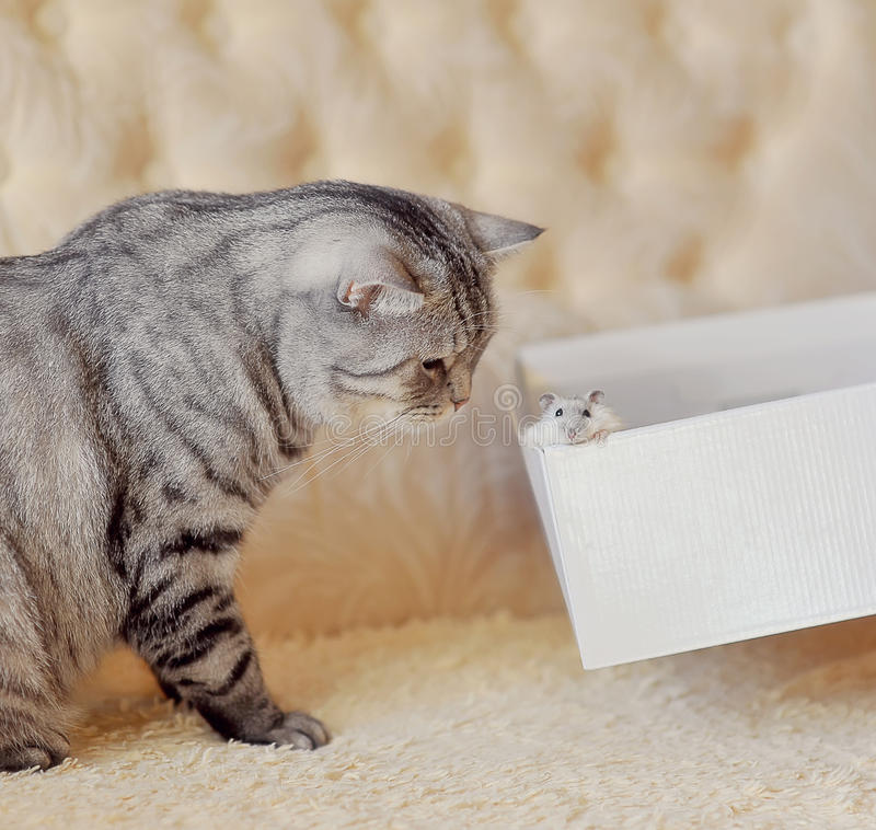 Acquaintance. The gray big cat and small mouse looks out of a box royalty free stock photo