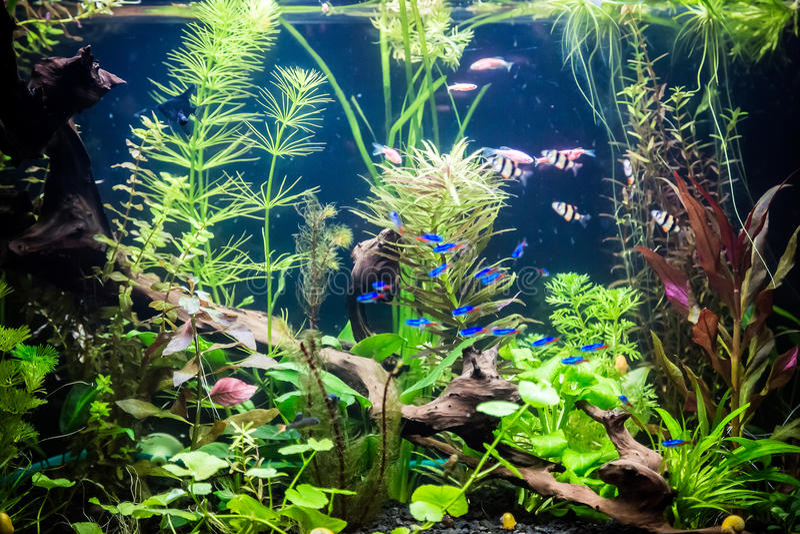 Acquario d 39 acqua dolce di ttropical con i pesci immagine for Acqua acquario