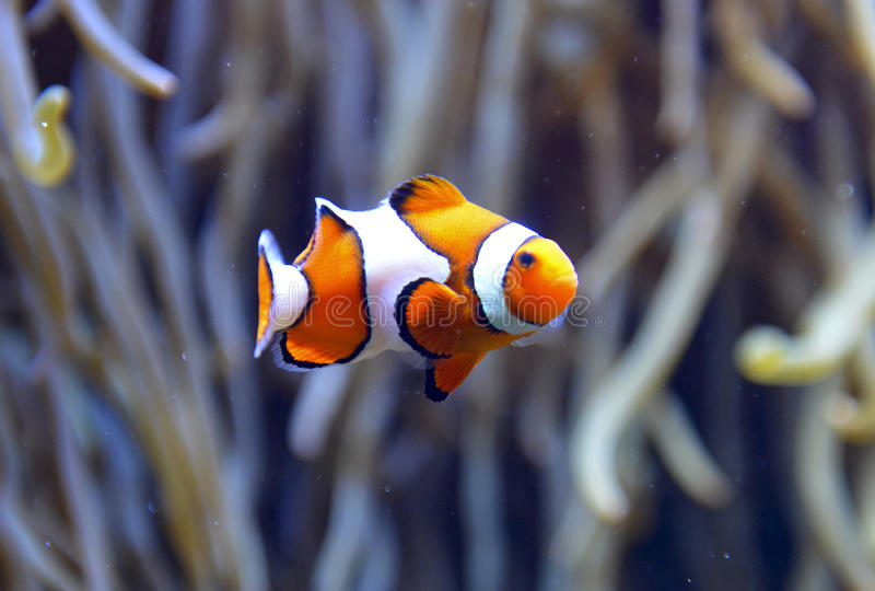 Acquario del pesce del pagliaccio fotografia stock