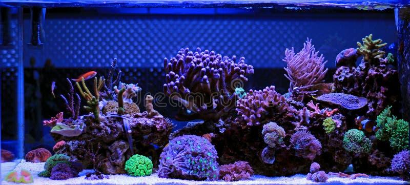 Acquario dell'acqua salata, scena del carro armato della barriera corallina a casa immagini stock