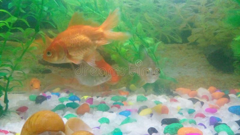Acquario dorato del pesce fotografia stock