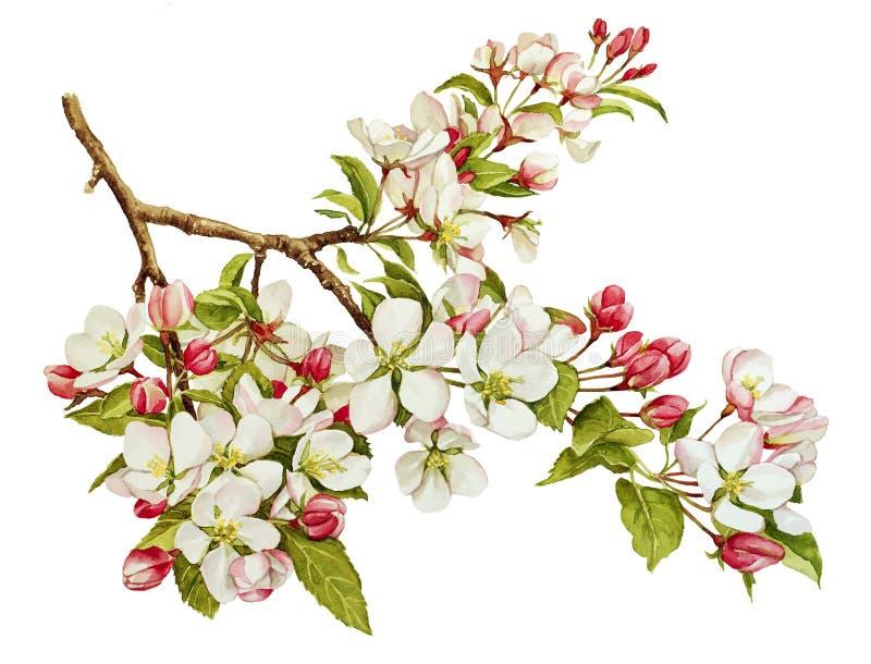 Acquerello botanico con di melo in fiore fotografia stock