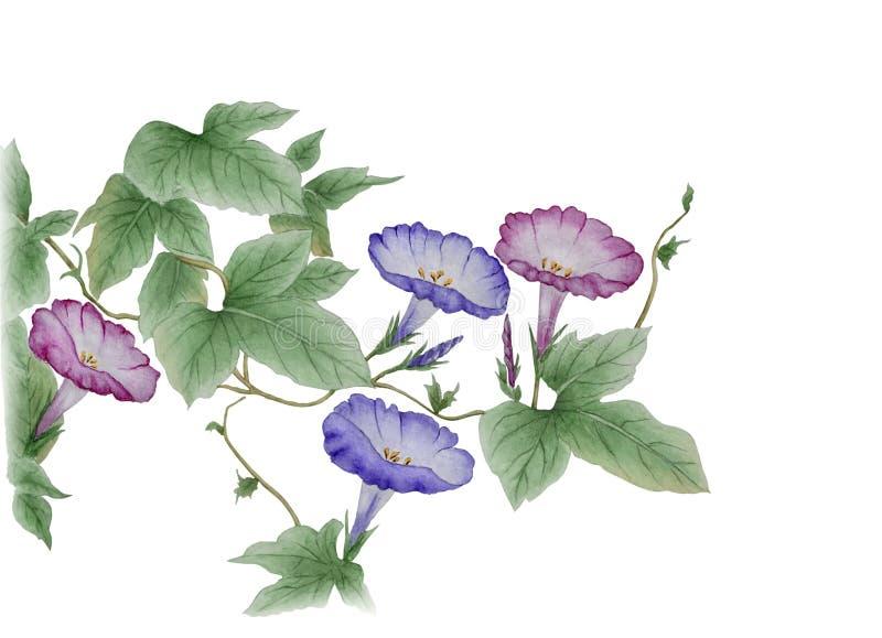 Acquerello con un'ipomoea di fioritura del ramo royalty illustrazione gratis