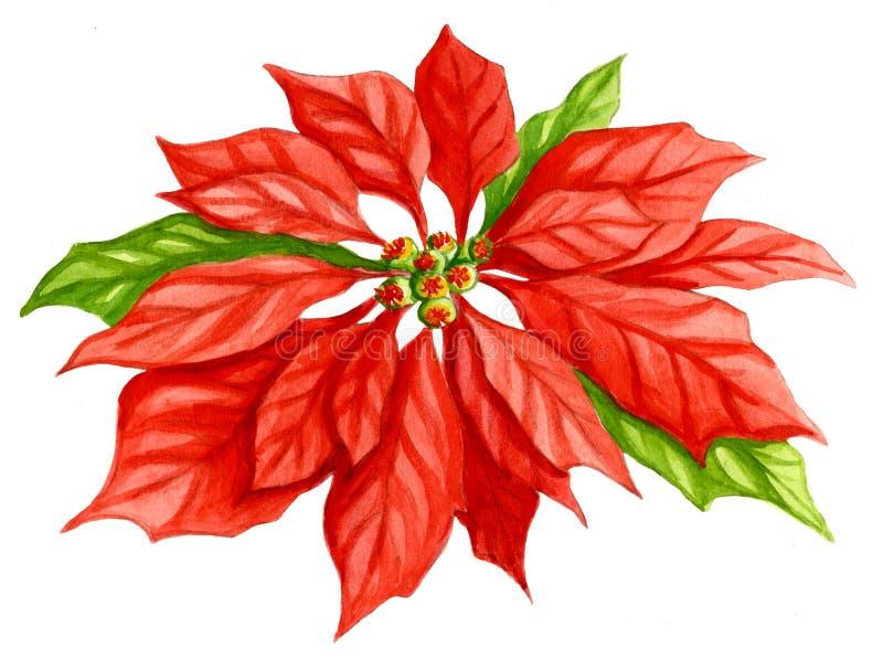 Acquerello del fiore della stella di Natale illustrazione di stock