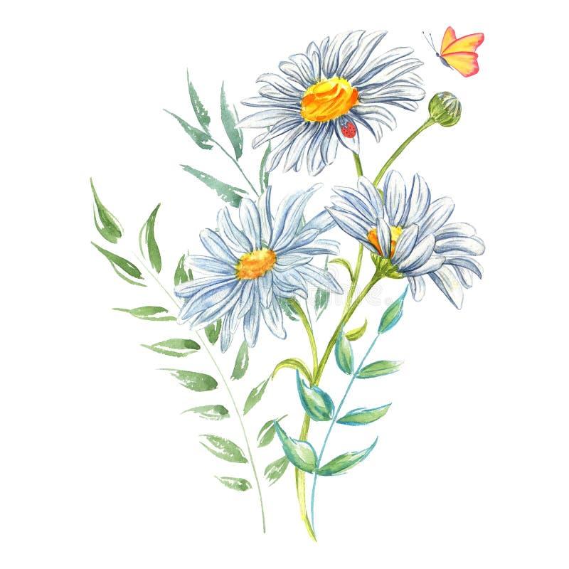 Acquerello della camomilla dei fiori bianchi con la coccinella e la farfalla royalty illustrazione gratis