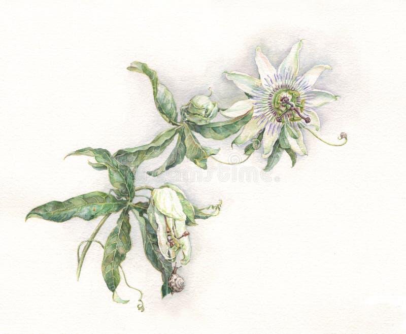 Acquerello dipinto a mano di passione del fiore di caerulea blu della passiflora illustrazione vettoriale