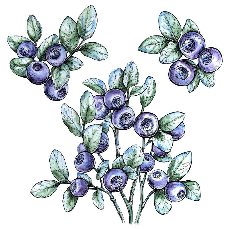 Acquerello disegnato a mano messo con i mirtilli Bacca della foresta Illustrazione di vettore dell'alimento di Eco royalty illustrazione gratis