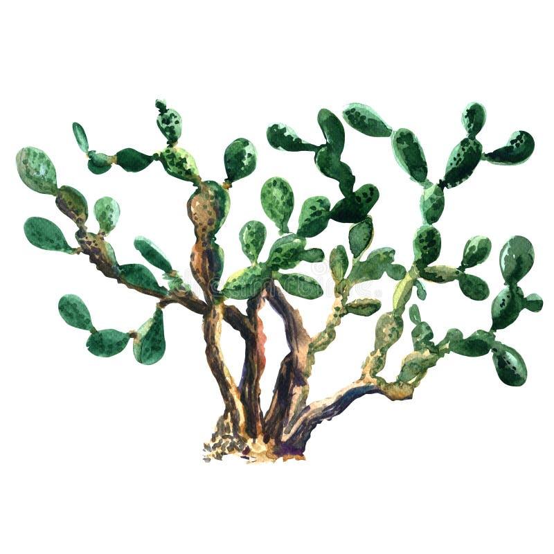 Acquerello isolato pianta del cactus Ficus dell'opunzia indica illustrazione di stock