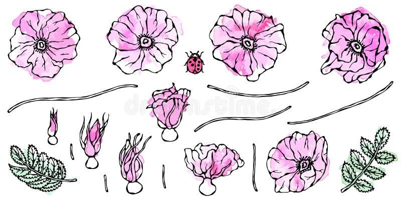 Acquerello Rose Pink Flower selvaggia Rosa canina, Briar Leaf Pittura botanica Illustrazione disegnata a mano realistica Savoyar royalty illustrazione gratis
