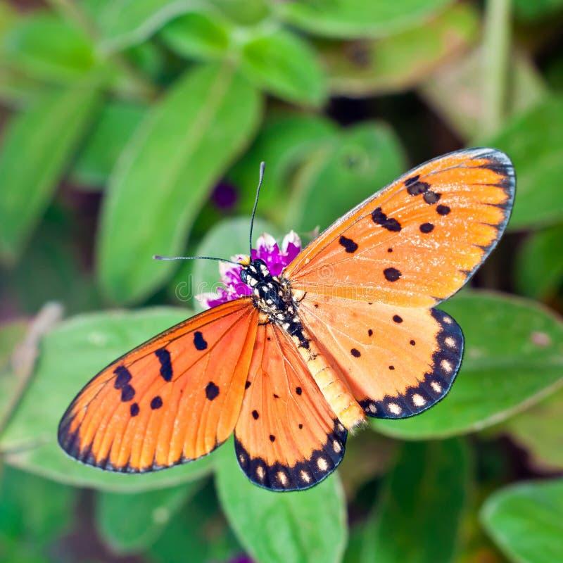 An Acraea Butterfly on Purple Amaranth Flower stock photo