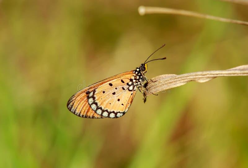 Acraea terpsicore, η καστανόξανθη πεταλούδα coster στοκ εικόνες με δικαίωμα ελεύθερης χρήσης