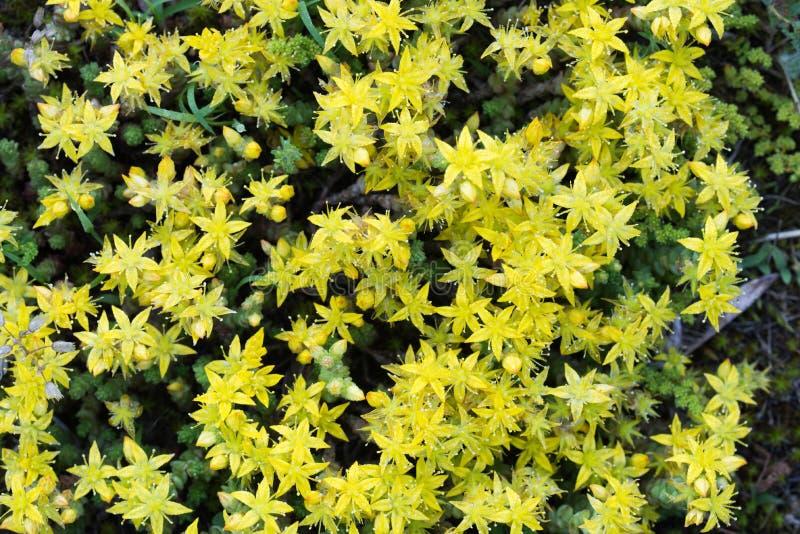 Acre de Sedum, macro amarilla de las flores de la uva de gato de los goldmoss imagen de archivo