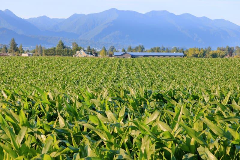 Acres do milho ou do milho de amadurecimento foto de stock royalty free