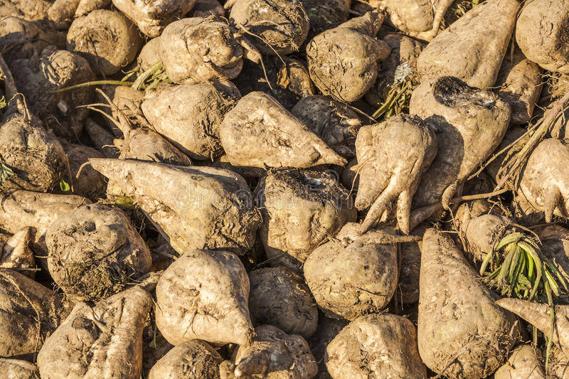 Acres with sugar beets after harvest