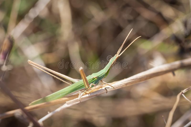 Acrid Hungarian grasshopper. Acrida ungarica grasshopper ready to take a leap from a stick royalty free stock photography