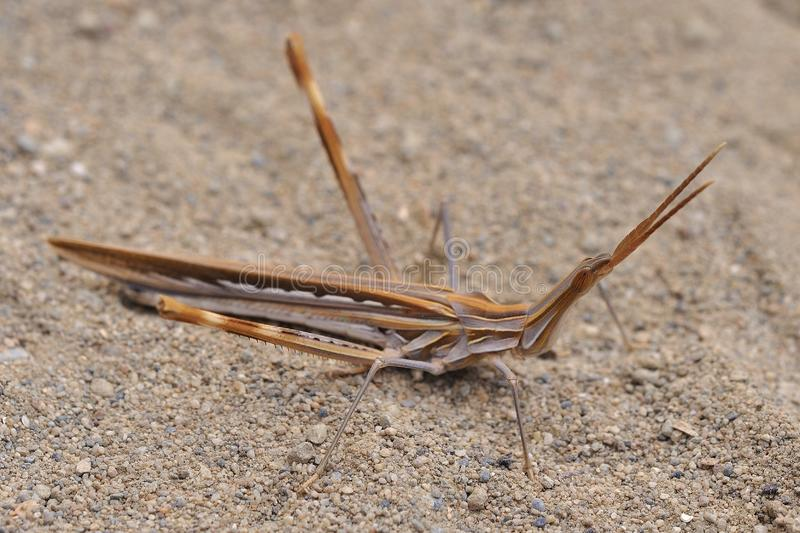 Acrida ungarica - species of grasshopper found in southern and central Europe. Known as the cone-headed grasshopper, nosed grassho royalty free stock photo