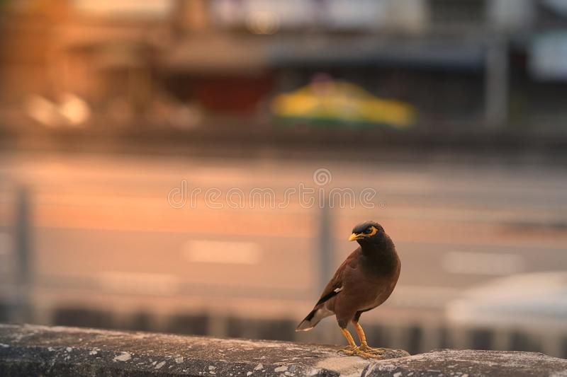 Acridotheres tristis or starling bird on city view with sun flare stock photos