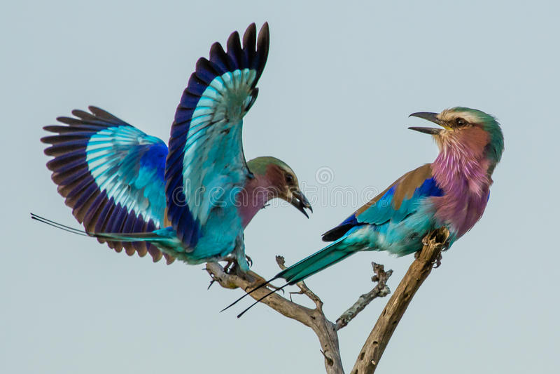 Acrobacias aéreas del rodillo de la lila-breasted imagen de archivo libre de regalías