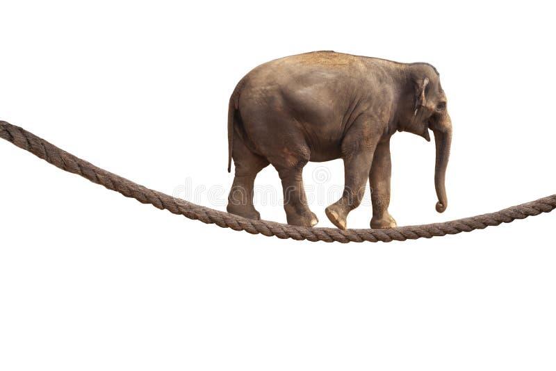 Acrobat Elephant Walking On Rope stock photos
