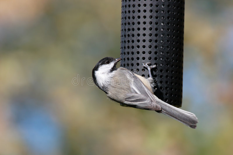Acrobatic Chickadee. Acrobatic Black-capped chickadee at a bird feeder on pastel background stock images
