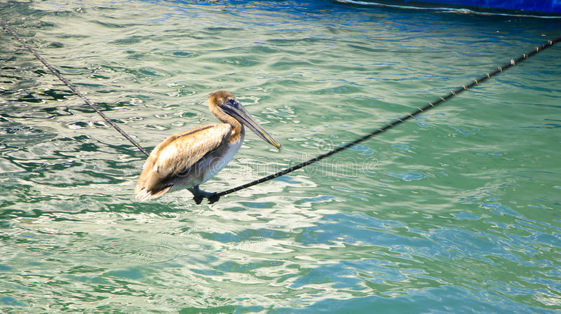 Acrobatic Pelican, West Palm Beach, Florida, USA. An acrobatic pelican swinging on a mooring line in a marina, West Palm Beach, Florida, USA royalty free stock images
