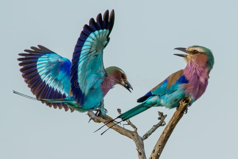 Acrobaties aériennes de rouleau de lilas-breasted image libre de droits
