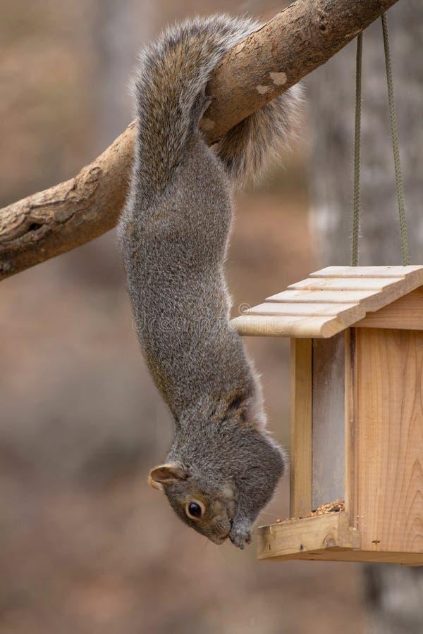 Acrobatisch Gray Squirrel Hanging door Staart stock foto's