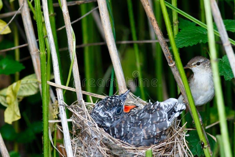 Acrocephaluspalustris Het nest van Marsh Warbler in aard stock foto's
