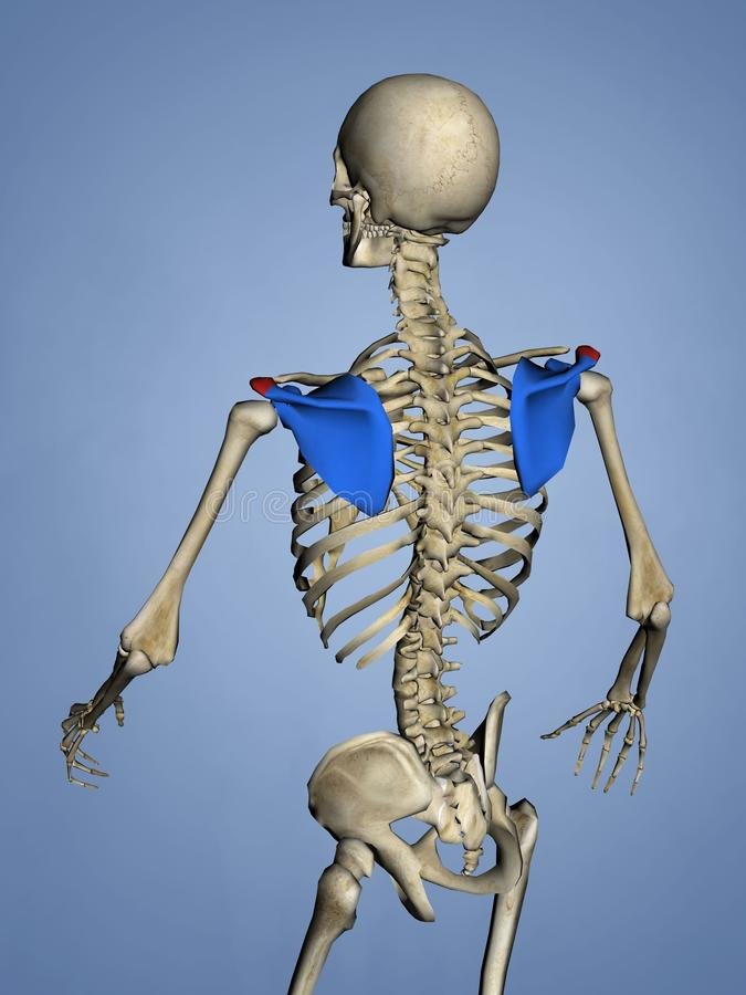 Acromion of Scapula. Human Skeleton, Blue Background, 3D Model, Acromion of Scapula royalty free illustration