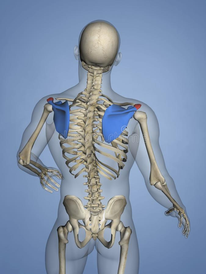 Acromion of Scapula M-SKEL-SCAPULA-ACROMION 9, 3D Model. Human Skeleton, Blue Background, 3D Model, Acromion of Scapula stock illustration