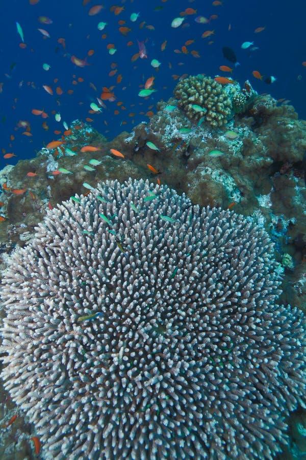 Acropora stock afbeeldingen